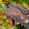 Juvenile Bald Eagle - Captive Bird Rehab Center