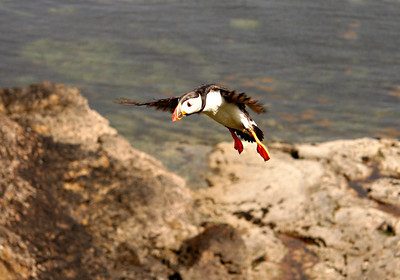 puffins fly like ducks, a lot of flapping with small wings.