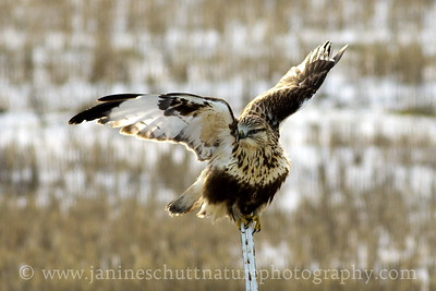 Rough-legged Hawk near Dusty, Washington.