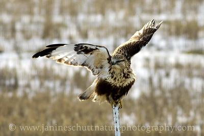 Rough-legged Hawk near Dusty, Washington.