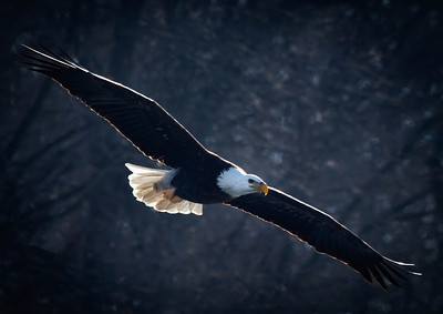 Bald Eagle  01 13 10  072 - Edit-2 - Edit