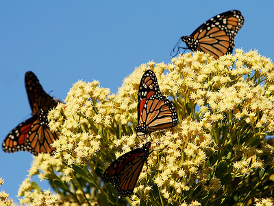 monarchs visit every fall