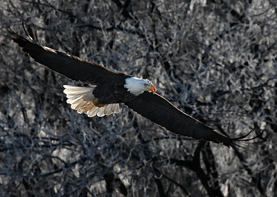 Bald Eagle  01 10 10  051 - Edit - Edit-2