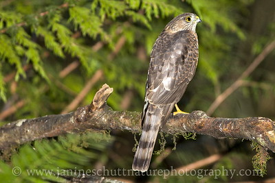 Immature Sharp-shinned Hawk near Bremerton, Washington.