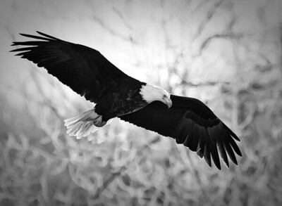 Bald Eagle  01 10 10  007 - Edit - Edit - Edit - Edit