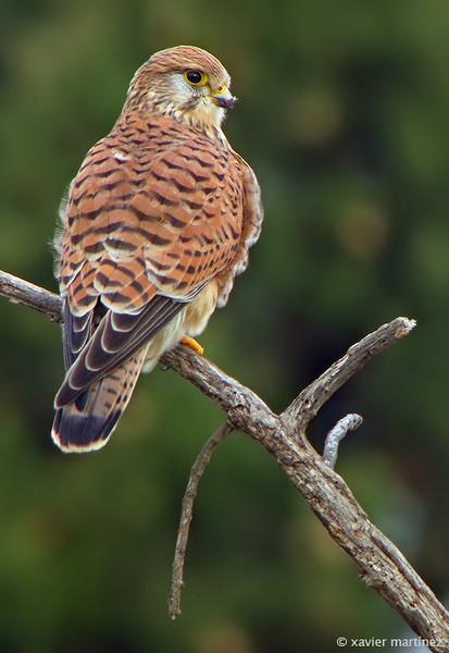 "<center>Falco tinnunculus <font size=""1"">Cernícalo Vulgar Kestrel  <i>clic en la foto para ampliar · click in the image to enlarge"