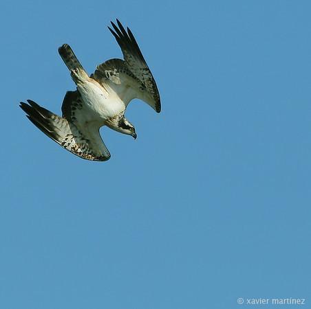 "<center>Pandion haliaetus <font size=""1"">Águila Pescadora Osprey  <i>clic en la foto para ampliar · click in the image to enlarge"