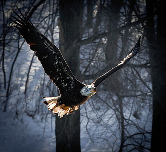 Bald Eagle  01 13 10  051 - Edit