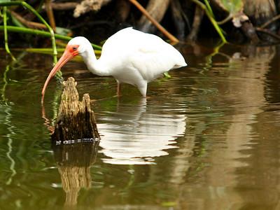Ibis, Dora Canal, Fl