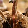 <center>Gyps fulvus <font>Buitre Leonado Griffon Vulture  <i>clic en la foto para ampliar · click in the image to enlarge</i></font> </center>