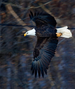 Bald Eagle  01 11 10  005 - Edit - Edit - Edit