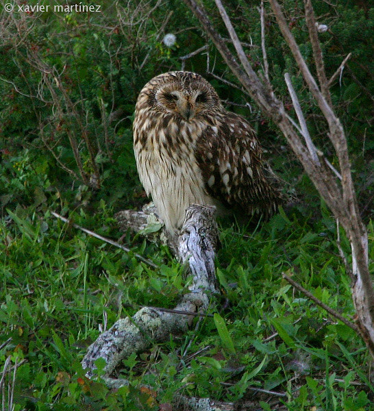 "<center>Asio flammeus <font size=""1"">Búho Campestre Short-eared Owl  <i>clic en la foto para ampliar · click in the image to enlarge"