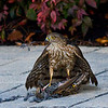 Sharp Shinned Hawk with Starling