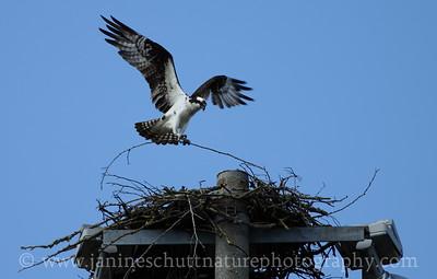 Osprey building a nest in Silverdale, Washington.