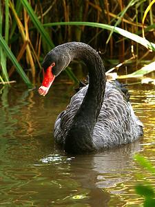 dark goose