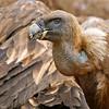 <center>Gyps fulvus <font size="1">Buitre Leonado Griffon Vulture  <i>clic en la foto para ampliar · click in the image to enlarge