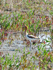 American Avocet - Hillman Marsh - May 24, 2015