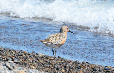 Red Knot - Erieau Beach - May 23, 2015