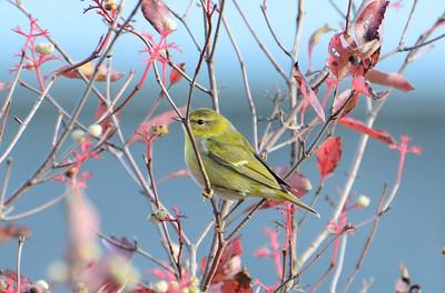 Tennessee Warbler - Lemoine Point C.A. - Oct 8, 2015