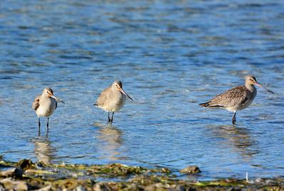 3 Hudsonian Godwits - Amherst Island - Martin Edwards Reserve - October 8, 2015