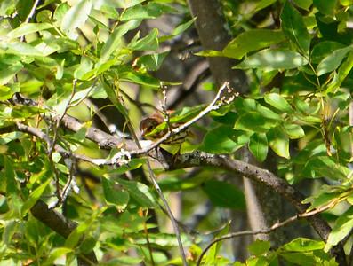 Fox Sparrow - Owl Woods
