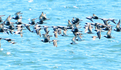 Black Bellied Plover, Ruddy Turnstone, Dunlin, Red Knot (towards right of photo) - Erieau Beach - May 23, 2015