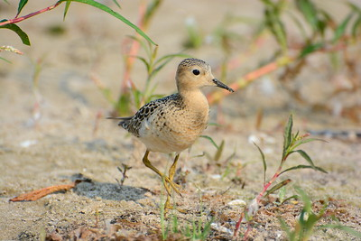 Buff-breasted Sandpiper - Presquile Provincial Park - September 1, 2015 - Beach 3 area