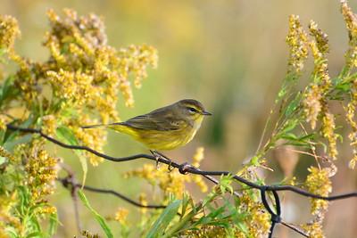 """Yellow"" Palm Warbler"