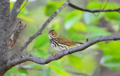 Ovenbird - Owl Woods, Amherst Island - October 1, 2015