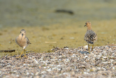 2 Buff-breasted Sandpipers - Presquile Provincial Park - September 1