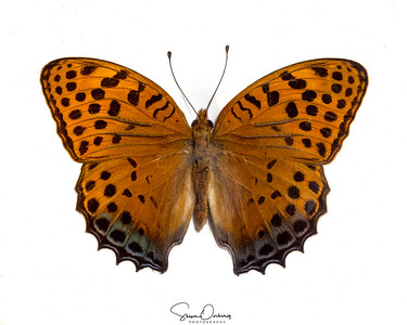 250-Argynnis Childrini - Assam, India - Sepcies from the brush-footed butterflies (Nymphalidae)