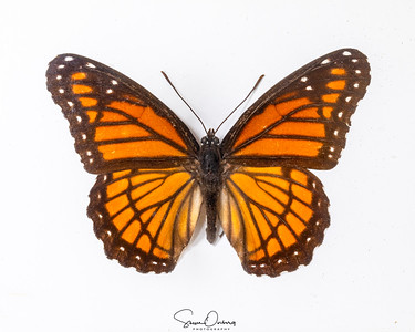 85B-Limentis Disippus (Viceroy)