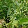 Venus' Looking-glass (Triodanis perfoliata)