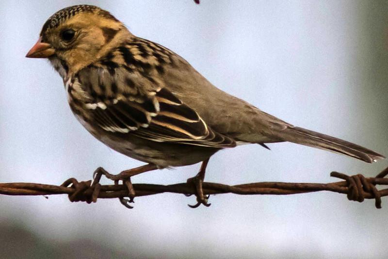 Harris's Sparrow, Hayward Regional Shoreline<br /> November 7, 2012