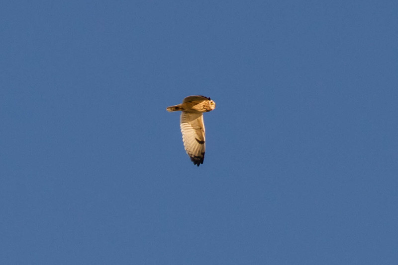 Short-eared Owl in San Francisco Bay<br /> November 10, 2012