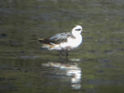 Red Phalarope, Albany Shoreline August 3, 2012