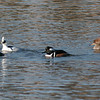 Smew with Hooded Mergansers<br /> Soulbyville, CA<br /> January 24, 2007