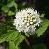 Ninebark (Physocarpus capitatus)