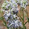 Columbia Frasera (Frasera albicaulis var. columbiana)