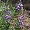 Broadleaf Lupine (Lupinus latifolius).