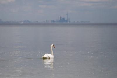 Swan and Toronto Skyline