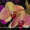 Yellow and Pink Phalaenopsis Orchids