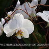 White Phalaenopsis Orchids