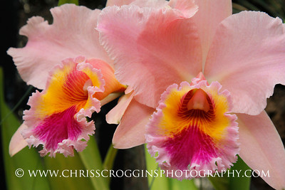 Cattleyas, Orchid Room