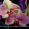 Yellow and Purple Phalaenopsis Orchids