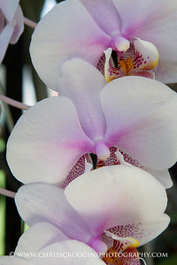 White and Pink Phalaenopsis Orchids