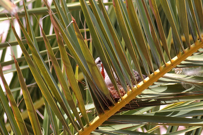 Nesting Eurasian Dove on a Palm Tree