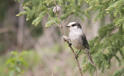 Gray Jay. (Whiskey Jack) Duck Mountains, Manitoba