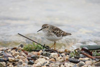 Least Sandpiper. Duck Mountains, Manitoba