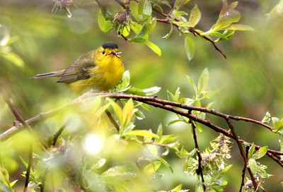 Wilson's Warbler dining on a water Midge . (Male) Duck Mountains, Manitoba